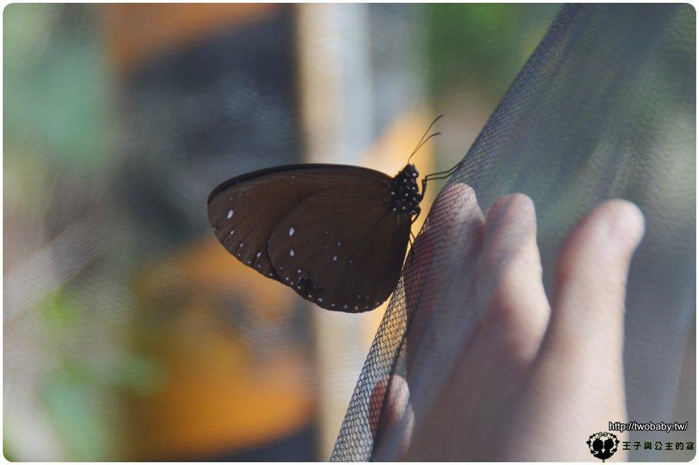 哇!紫蝶漫舞林內好所在-2018/3/31~4/8 雲林縣林內鄉公所活動-紫斑蝶