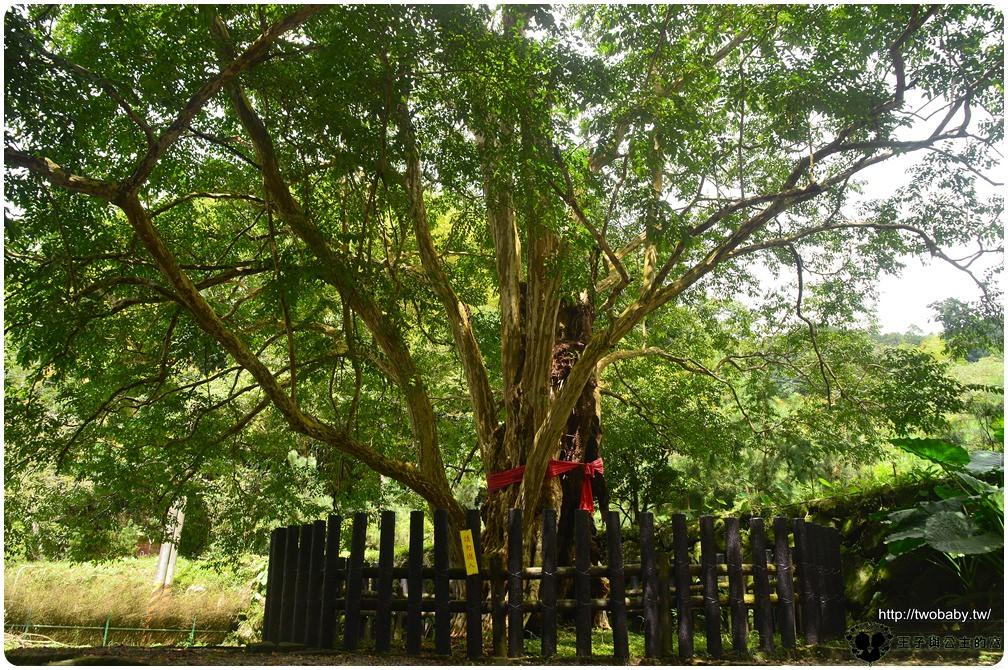 雲林古坑草嶺景點|石壁風景區-草嶺村九芎神木 裡面有一顆千年九芎神木